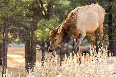 Photograph - Elk In Autumn by John Ferrante