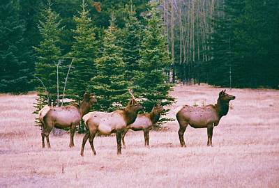 Elk In Canada Art Print by Richard Jenkins