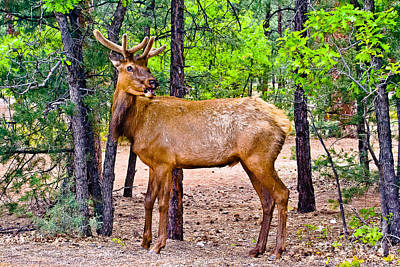 Grand Canyon Mixed Media - Elk In Canyon National Park by Bob and Nadine Johnston