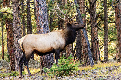 Photograph - Elk In Colorado by Ben Graham