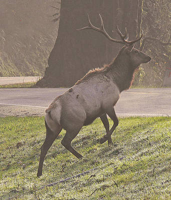 Photograph - Elk In Redwood Country  by Gracia  Molloy