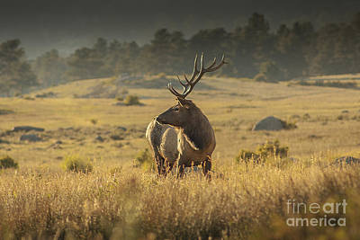 Photograph - Elk In Rocky Mountain National Park by Kelly Black