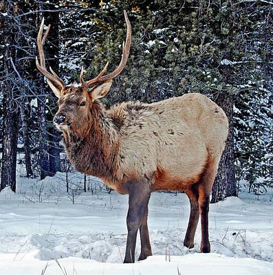 Elk Hide Photograph - Elk by Laura Strain