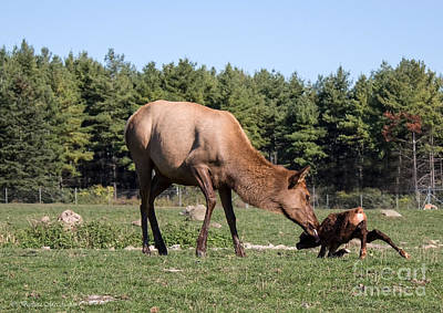 Photograph - Elk Licking Newborn Calf by Barbara McMahon