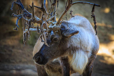Photograph - Elk by Matthew Onheiber