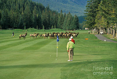 Elk On The Golf Course Art Print by Ron Sanford