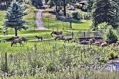 Photograph - Elk On The Greens by Audreen Gieger