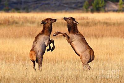 Photograph - Elk Play by Bill Singleton
