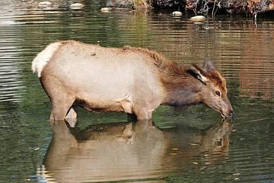 Elk Photograph - Elk Reflection by Marilyn Burton