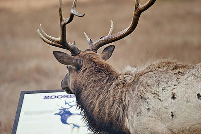 Photograph - Elk Sight Seeing by Greg Nyquist