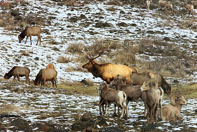 Elk With Big Horn Sheep, Oak Creek Art Print by Tom Norring