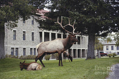 Elk With Harem Art Print by Gregory G. Dimijian, M.D.