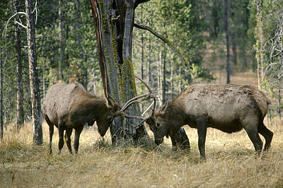 Butting Heads Photograph - Elks Sparring Yellowstone Np Wyoming by Michael Quinton