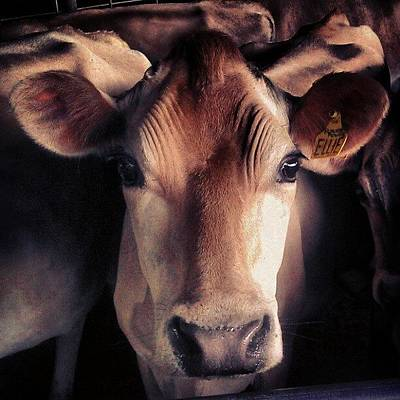 Cow Photograph - Ellie by Elizabeth N Gregory