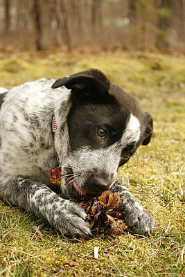 Photograph - Ellie Vs. The Pine Cone by Kristia Adams