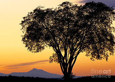 Photograph - Elm At Twilight by Alan L Graham