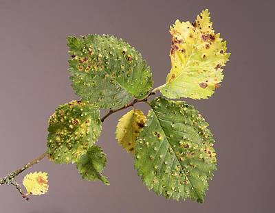 Elm Photograph - Elm Gall by Sheila Terry