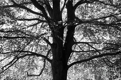 Photograph - Elm In Black And White  by John  Mitchell
