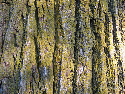 Photograph - Elm Tree Bark Close Up by Conni Schaftenaar