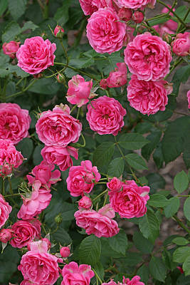 Photograph - Elmshorn Rose Shrub by Allen Beatty