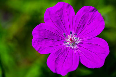Photograph - Elsbeth Bloody Cranesbill by Randy Scherkenbach