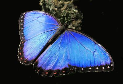 Elusive Blue Art Print by Rosalie Scanlon