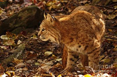 Elusive Bobcat On An Autumn Prowl In  Art Print