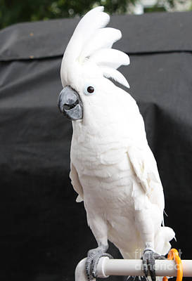Photograph - Elvis The Cockatoo by John Telfer