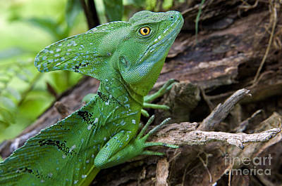 Photograph - Emerald Basilisk 3 by Arterra Picture Library