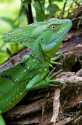 Photograph - Emerald Basilisk 4 by Arterra Picture Library