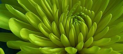Photograph - Emerald Dahlia by Bruce Bley