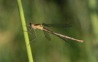 Photograph - Emerald Damselfly by Peter Skelton