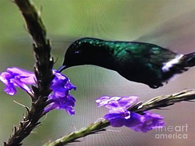 Photograph - Emerald Hummingbird by Barbara Plattenburg