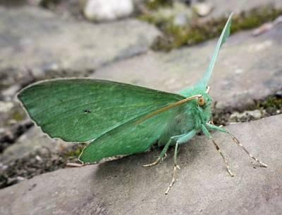 Kitchen Mark Rogan - Emerald Moth by Richard Brookes