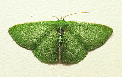 Photograph - Emerald Moth by Walter Klockers