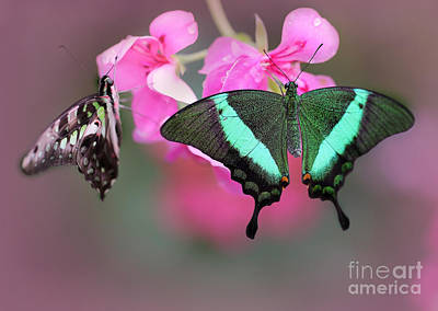 Photograph - Emerald Swallowtail Butterflies by Sabrina L Ryan
