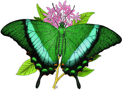 Photograph - Emerald Swallowtail Butterfly by Roger Hall