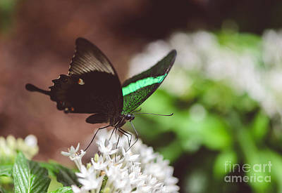 Photograph - Emerald Swallowtail Butterfly by Tamara Becker
