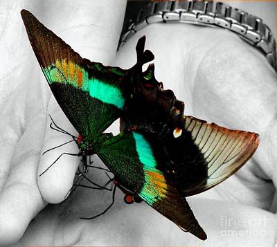 Photograph - Two Emerald Swallowtails by Janette Boyd