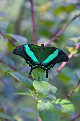 Emerald Swallowtail (papilio Palinurus Art Print