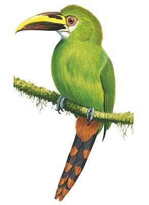 Wildlife Landscape Painting - Emerald Toucanet by Anonymous