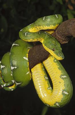Photograph - Emerald Tree Boa Amazonia by Gerry Ellis
