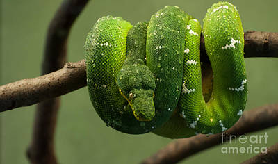 Photograph - Emerald Tree Boa by Bianca Nadeau
