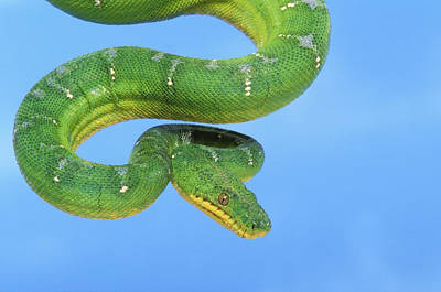 Boa Constrictor Photograph - Emerald Tree Boa Corallus Caninus by Thomas Kitchin & Victoria Hurst