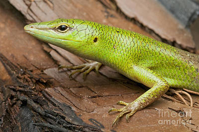 Photograph - Emerald Tree Skink by Dan Suzio