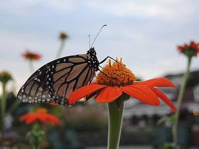 Photograph - Emerging Monarch by Chrissey Dittus