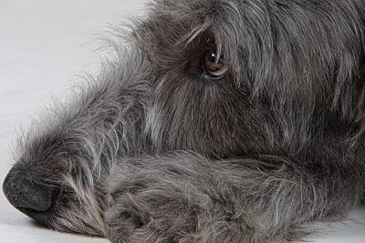 Irish Wolfhound Photograph - Irish Wolfhound I by Agustin Uzarraga