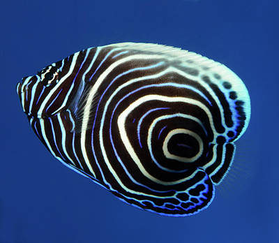 White Ring Photograph - Emperor Angelfish by Nigel Downer