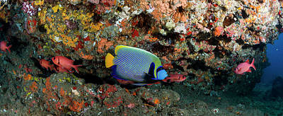 Undersea Photograph - Emperor Angelfish Pomacanthus Imperator by Panoramic Images