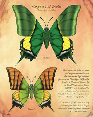 Emperor Of India Butterfly Art Print by Tammy Yee